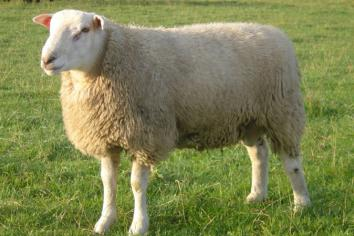 Farmer's appeal to dog owners after fatal ewe attack